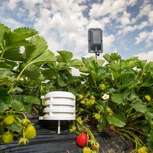 Bosch Temperatur und Luftfeuchte-Sensoren Feldueberwachung Erdbeeren